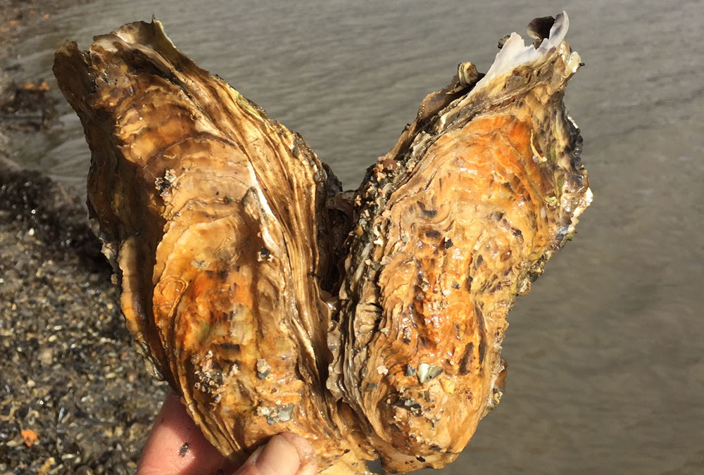 Be a top oyster Shucker